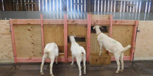 Goat feeders