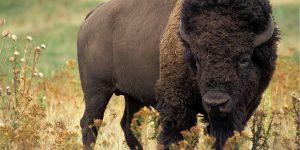 animal-bison-buffalo-46188